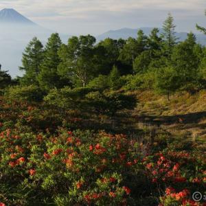 甘利山 ~早朝にサクッと初夏の高原へ!レンゲツツジと富士の大展望~