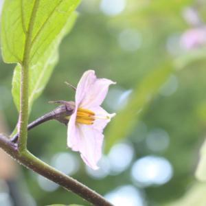 うつくむ姿が美しいナスの花