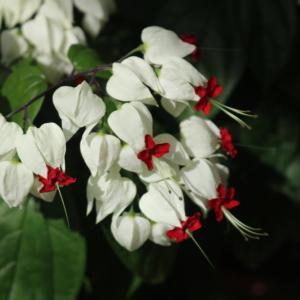 赤いお花なの?ゲンペイカズラ