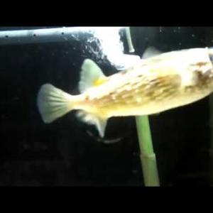 【赤ちゃん】ハリセンボン ヨコハマおもしろ水族館