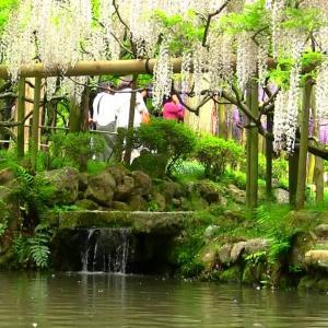 藤の花 春日大社神苑 万葉植物園にて