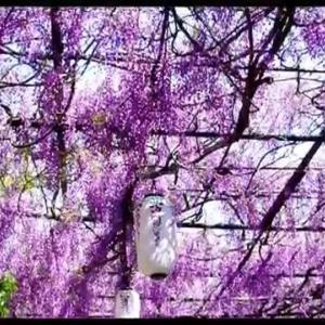大阪府の花の名所 信達宿の野田藤