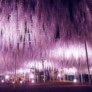 あしかがフラワーパークの大藤 見ごろ(Most Beautiful Wisteria Flowers of The World)