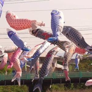 仁保川にかかる鯉のぼり(山口市)