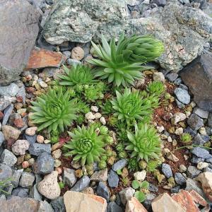 ダイソーの多肉植物を庭に植えてみた!センペルビュームの露地栽培(寒冷地)で花が咲く!!