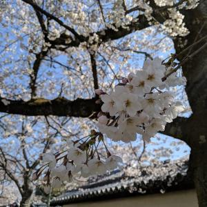【京都の花見】見ごろは4/6(土) 世界文化遺産・醍醐寺で桜を満喫