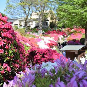 根津神社(東京都文京区)のツツジ写真②