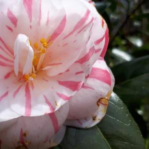 🌸桜はもう少し・・「椿」が見ごろです!!