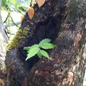 柿の木に・・「ケヤキ」の苗木が??