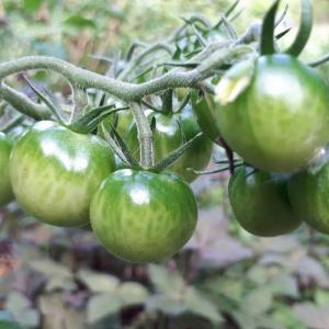 「ミニトマト」・・がもう少しで赤くなりそうです!!