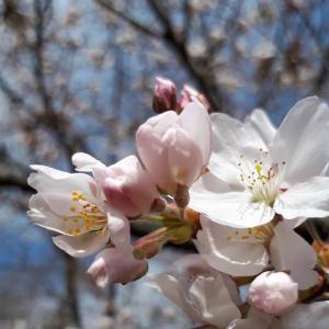 🌸~「桜」~🌸が咲き始めました!!