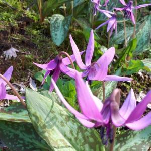 「カタクリ」の花