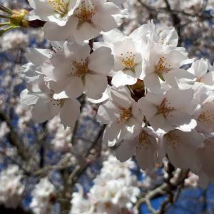 🌸🌸「満開の桜」🌸🌸