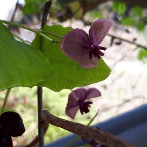 「アケビの花」