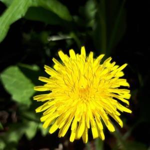 「タンポポの花」