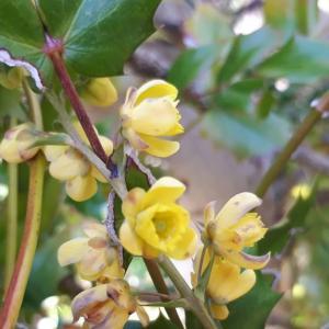 「ヒイラギナンテン」の花