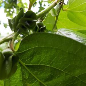 「柿の蕾」