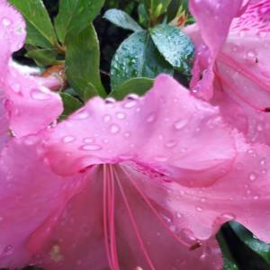 「雨あがりのサツキ」