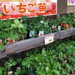 イチゴ苗販売ハイシーズン