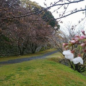 おでこ日記 桜情報