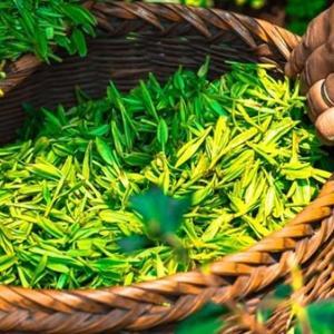 緑茶成分のエピガロカテキンガレートはダイエットにも筋トレにも効果的!?