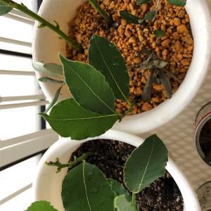 【手仕事】お料理用乾燥ローリエを作る