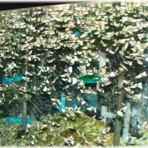 スーパー過密飼育1万5千匹以上のドイツイエローグッピー