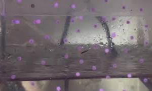 コリドラスの有精卵と無精卵の見分け方
