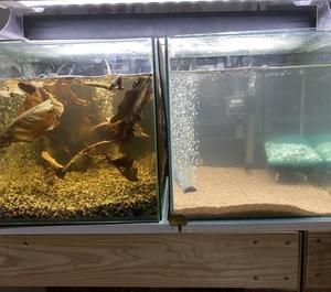 スーパーシュワルツィーとレセックスの繁殖水槽