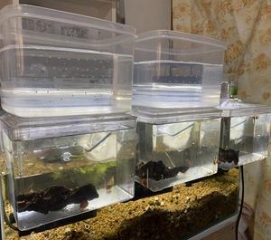 コリドラスを爆繁殖させる飼育法