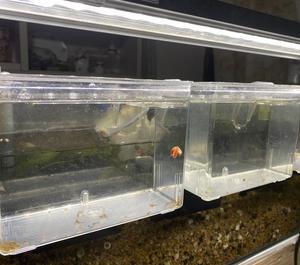 昨日、コリドラスの稚魚が孵化しました