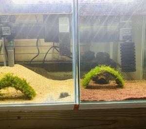 孵化したコリドラスの3種類の稚魚の紹介です