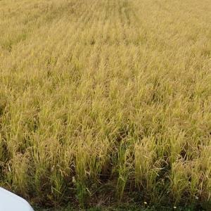 【庄内米移植栽培2019】鉄コ直播で稲刈り終了しました。【最高の鉄コ栽培ができました!】