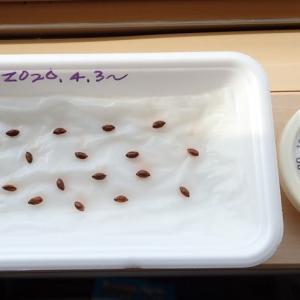 2020年の鉄コ種子の発芽試験開始と、耕起の品種変えました。