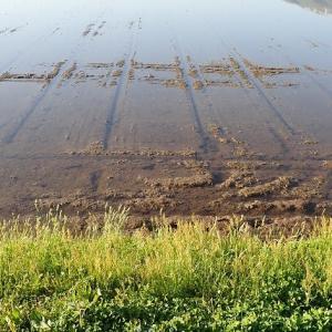 【鉄コ直播2019】クボタ鉄コーティング湛水直播が鳥害(カラス)で全滅しました。(直播やり直し)