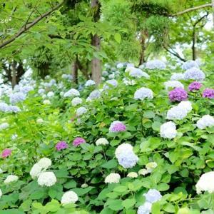 紫陽花が咲く公園