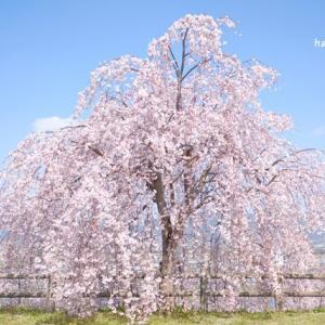 桜の季節はあっという間に