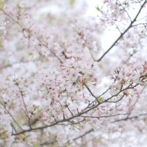 残り桜とタンポポ