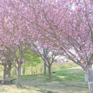 思いがけずの桜