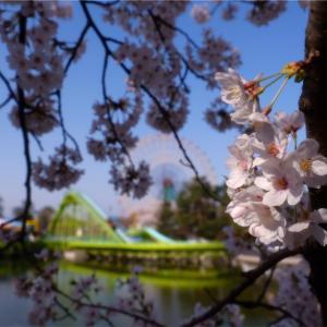 遅ればせながら桜の写真です