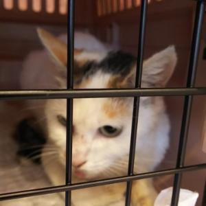 先日保護した三毛猫ちゃんの事です。悲しい結果です。