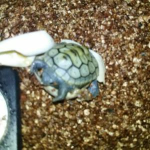 水亀の交尾から産卵方法前編