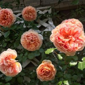 ベランダ 花盛り