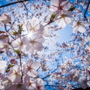桜咲く?桜散る?明日の見えない未来をどうするよ