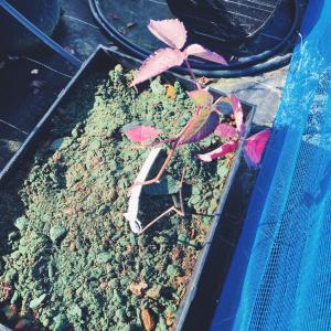 ブルーベリー苗だけでなく、ラズベリー苗の植え替え