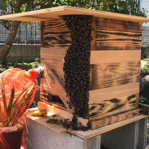 ニホンミツバチの分蜂を初捕獲!!その5(謎を残して最終回)