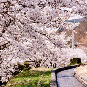 秋田で最初に桜を楽しめる!にかほ市勢至公園(せいしこうえん)の観桜会概要