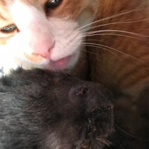 猫の鼻腔内リンパ腫㊱ サプリ効果に期待してみる
