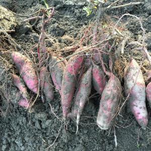 珍しい野菜作り 追熟すれば格別の甘さを楽しめる「紅はるか」収穫しました