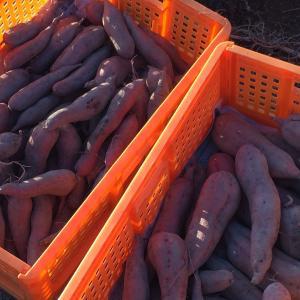 珍しい野菜作り 安納芋の焼き芋はスイーツです。
